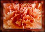 Pink carnation (1766)