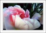 Soft carnation