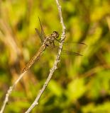 Roseate Skimmer - female