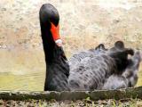 The Black Swan.jpg(321)