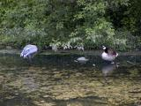 Sandhill Crane  Geese.jpg(367)