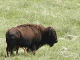 Bison (buffalo)