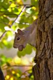 Gray Squirrel and Acorn