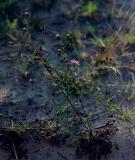 Dune Weeds