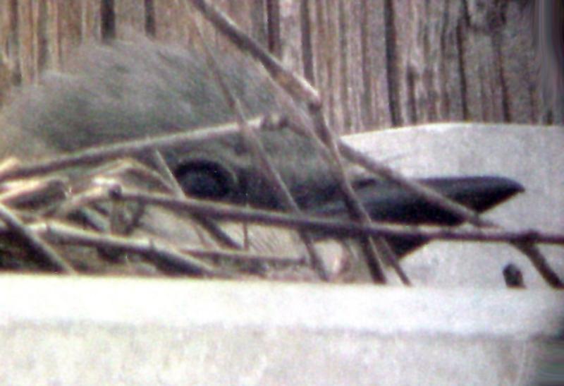 Western Kingbird MS 6-6-04 female head