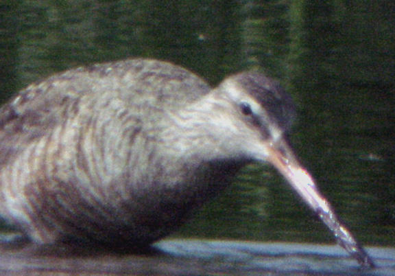 Hudsonian Godwit  female - Ensley -6-5-04