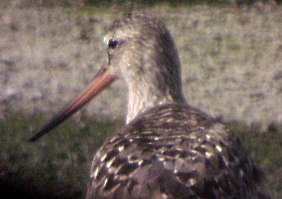 Hudsonian Godwit  - Ensley 6-5-04