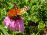 Purple coneflower with American Painted Lady!