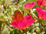 DSCN8335  Butterfly on Purslane