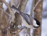 2005-02-19: Chickadee