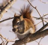 2005-02-20: Red Squirrel