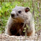 Eastern Marmot Woodchuck -Immature
