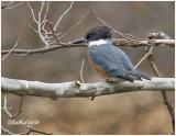 Belted Kingfisher-Female