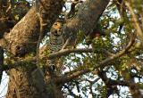 > Leopards