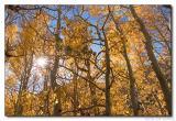 Aspen Grove backlit