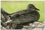 Canard colvert femelle / Mallard