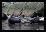 Phoques gris / Grey Seals