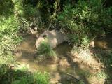 Chitwan - Elephant Safari - Rhino's Having Mud Bath