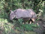 Chitwan - Elephant Safari - Male Rhino