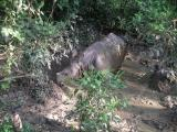 Chitwan - Elephant Safari - Baby Rhino