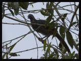 Colombian Chachalaca 1
