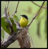 Common Tody-Flycatcher 2