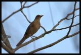 Clay-coloured Robin