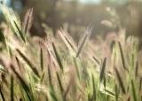 Wheat !