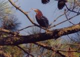green heron in yard