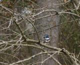 0038 kingfisher 2-18-05.jpg