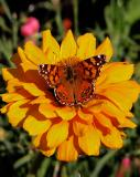 Butterfly On Yellow Zinnia