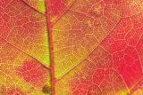 Maple Leaf Macro.jpg