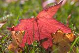 Maple in Grass Macro.jpg