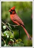 cardinal_DSC_1999.jpg