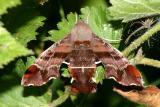 7873 -- Nessus Sphinx Moth -- Amphion floridensis