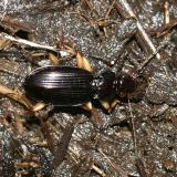 Ground Beetles - Tribe Patrobini