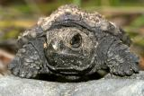 Snapping Turtle - Chelydra serpentina (baby)