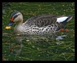 Spotbill Duck October 2004