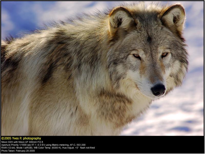 Wolf Portrait ...