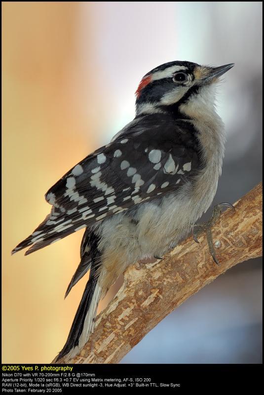 Downy Woodpecker ...