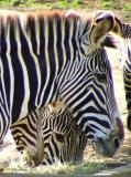 Zebra Portraits