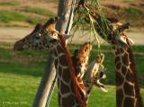 Giraffes at the Salad Bar