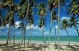 Coqueiral na praia de zumbi2
