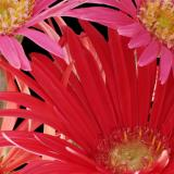 gerber daisy salmon & red 02 detail