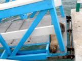 308 Sea lion asleep on gangway.jpg
