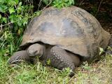 060 Giant Tortoise.jpg