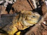 099 Land Iguana.jpg