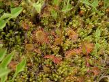 Drosera rotundifolia (Sundew)