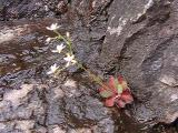 Saxifraga michauxii