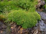 Saxifraga michauxii, Hypericum buckleyi MP 423.5 N